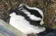 Appeal For Help In Finding Missing Skunk