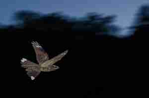 Male Nightjar showing characteristic white wing-tips.  Image: Tim Melling.